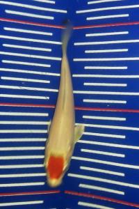 309-aprizal-makassar-bintang koi-makassar-tancho-10